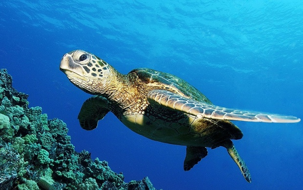 Green Sea Turtle (click to view)