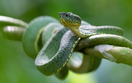 Green Snake Eye Branch