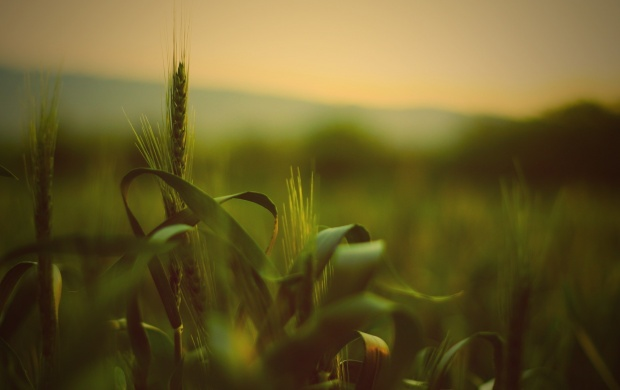 Green Wheat Closeup (click to view)