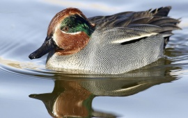 Green Winged Teal in Water