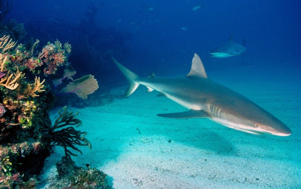 Grey Reef Sharks (click to view)