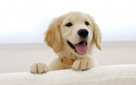 Happy Golden Retriver