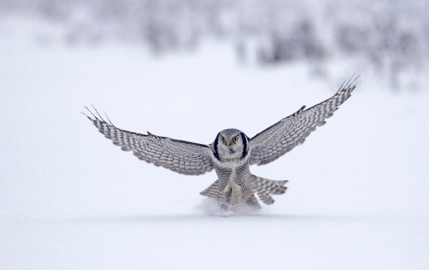 Hawk Owl (click to view)