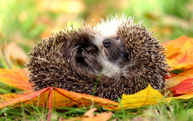 Hedgehog Sleeping (click to view)