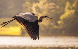 Heron Crane Bird Flying
