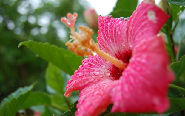 Hibiscus Flower (click to view)