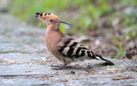 Hoopoe Bird On Land