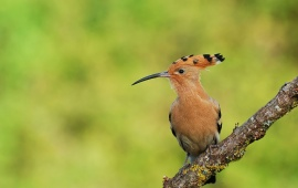 Hoopoe Bird On Tree Branch