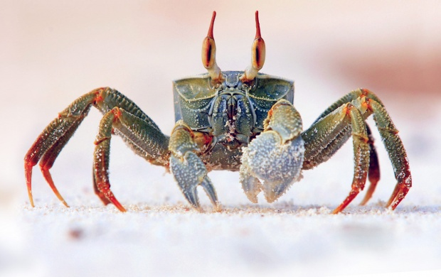 Horned Ghost Crab (click to view)