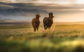 Horse Couple In Grassland Field