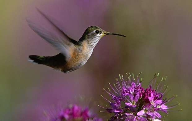 Humming Bird (click to view)