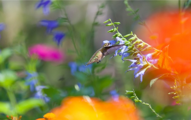 Hummingbird Flying Near Flowers (click to view)