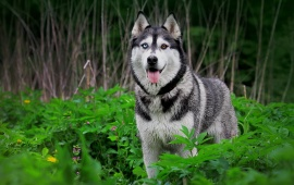 Husky Dog In Green Forest
