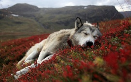 Husky Dog In Red Field