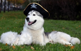 Husky Dog With Hat