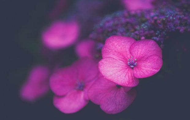 Hydrangea Blooms (click to view)
