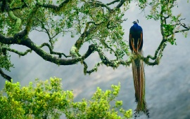 Indian Peacock On Branch