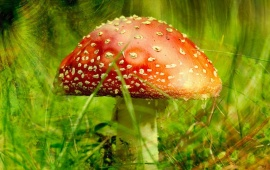 Infected Red Mushroom