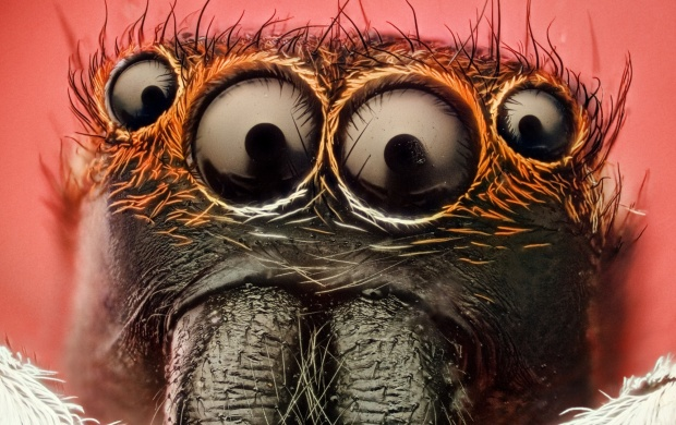 Insect Spider Eyes (click to view)