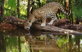 Jaguar Drinking Water