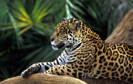 Jaguar In Amazon