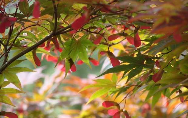 Japanese Maple Trees (click to view)