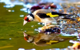Jilguero Bird Drinking Water