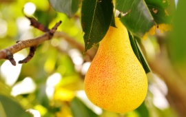 Juicy Pear Fruit