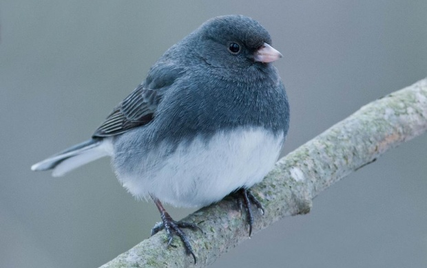 Junco Bird (click to view)