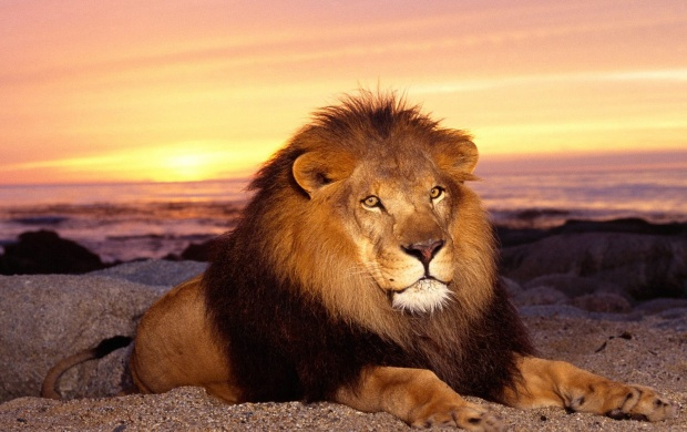 King Of Jungle (click to view)