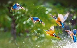 Kingfisher Birds Plying In Water