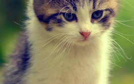Kitten Look Bokeh