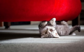 Kitten Playing Under Red Sofa