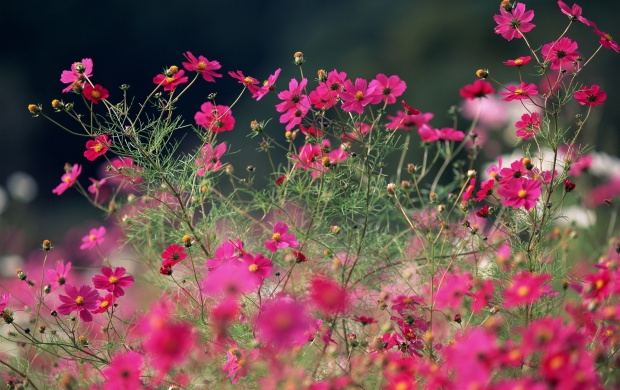 Kosmeya Flower Summer Field (click to view)