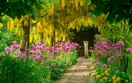 Laburnum Tree Blooming Garden