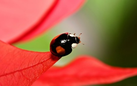 Ladybird on Red Leaf