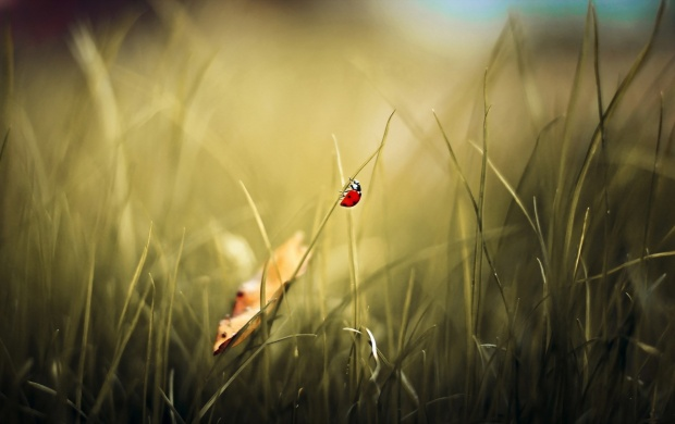 Ladybug Climbing a Leaf (click to view)