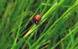 Ladybug Grass Insect