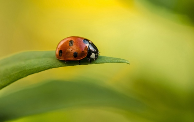 Ladybug On Leaf (click to view)