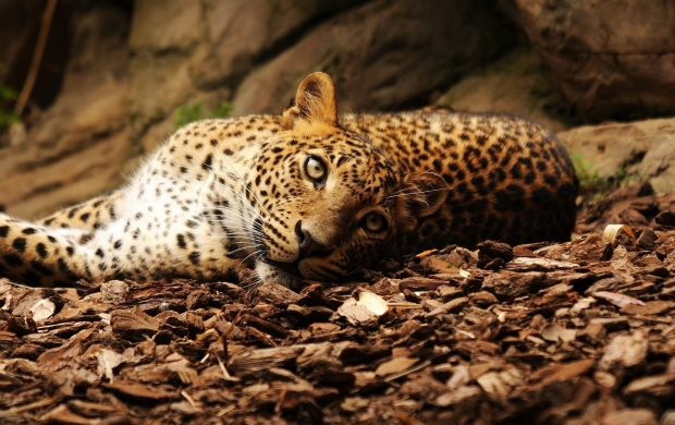 Lazy Leopard (click to view)