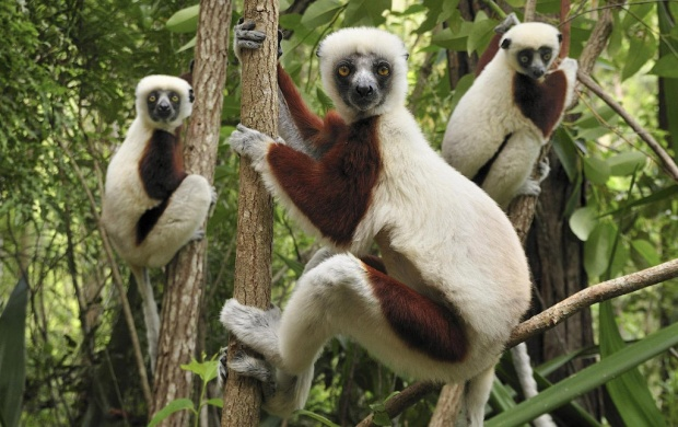Lemurs And Three (click to view)