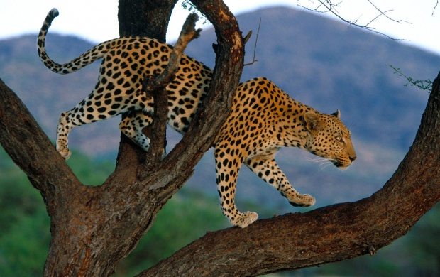 Leopard Climbing Tree (click to view)