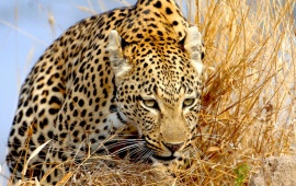Leopard In The Yellow Grass