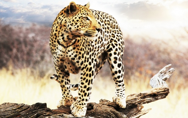 Leopard Looking Into The Distance (click to view)