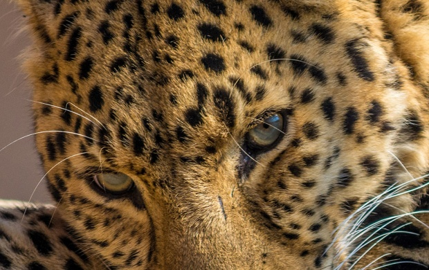 Leopard Lying (click to view)