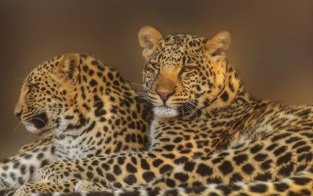 Leopard Pair (click to view)