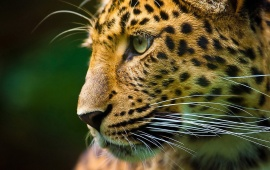 Leopard Side Face