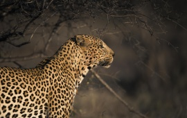 Leopard Waiting