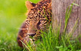 Leopard Waiting In The Grass