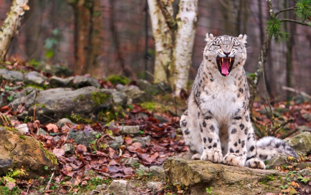 Leopard Yawning (click to view)